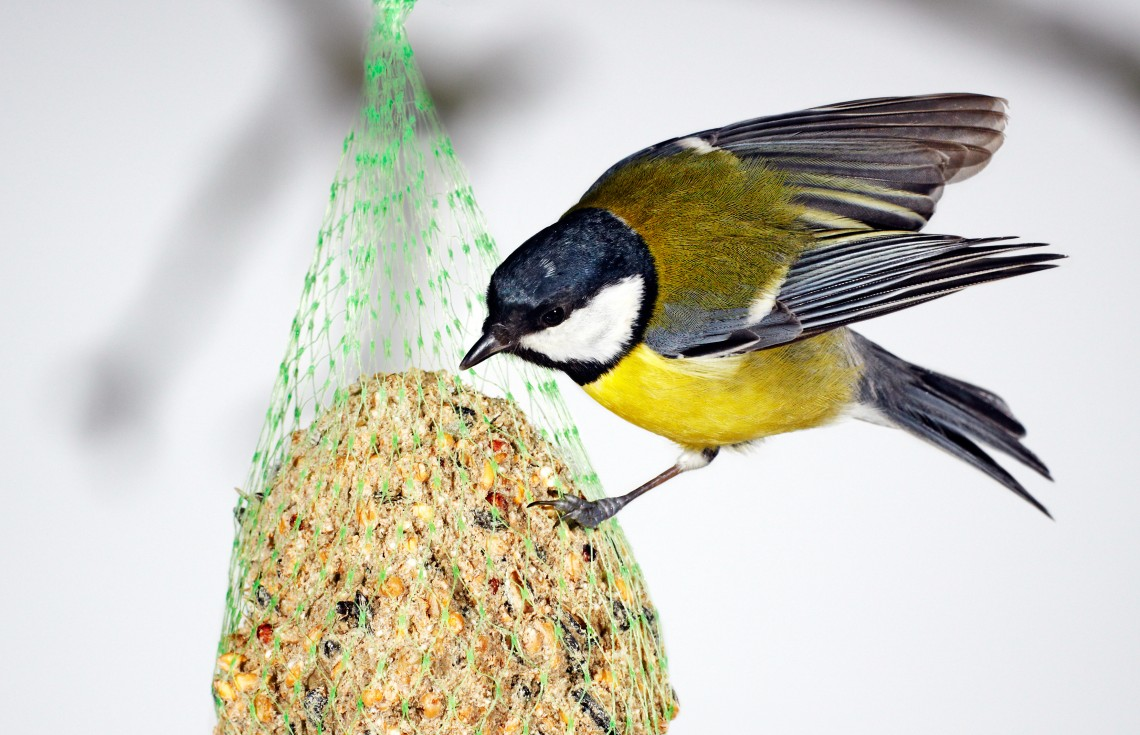 Great Tit and Blue Tit at the fat ball